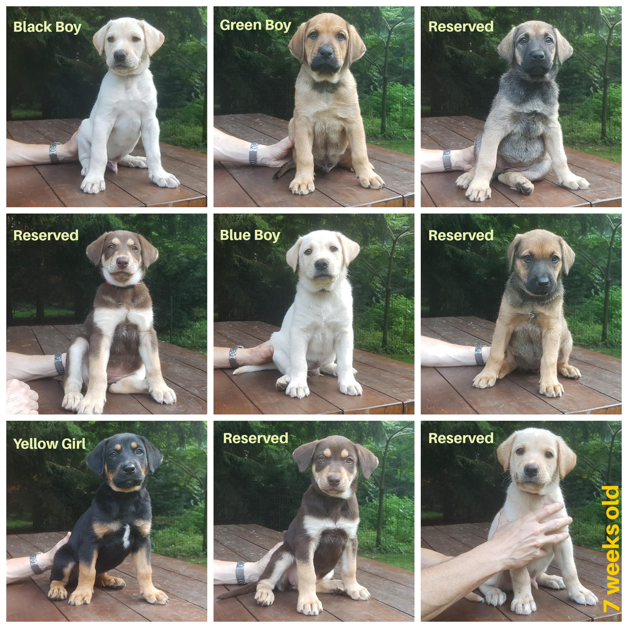 7-week-collage-edie-pups.jpg